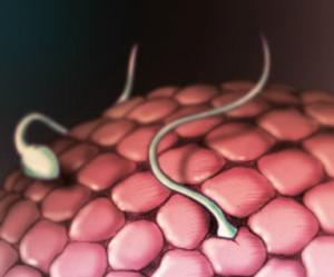 В старую яйцеклетку при оплодотворении могут попасть два и более сперматозоида