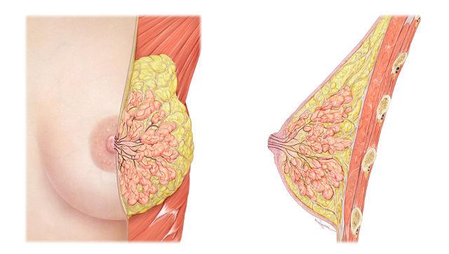 Почему болит грудь перед овуляцией