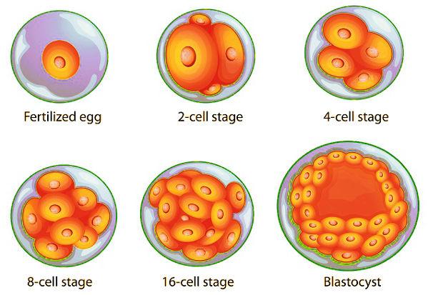 подготовка к подсадке замороженных эмбрионов