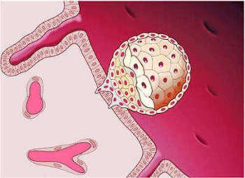 Сколько длится прикрепление эмбриона к матке