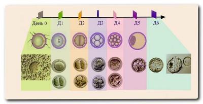 Что происходит с эмбрионом после переноса в матку