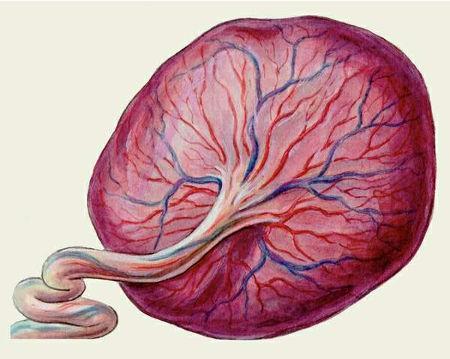 Фетоплацентарная система