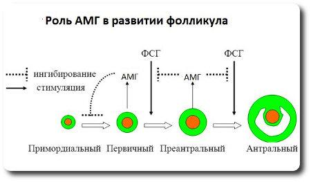 Роль антимюллерова гормона в развитии фолликулов