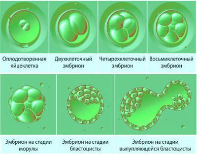 Этапы развития эмбриона до имплантации